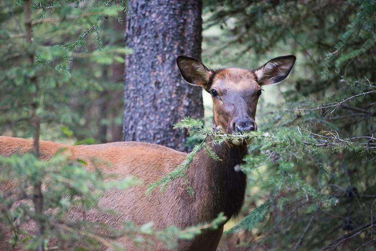 Female elk portrait