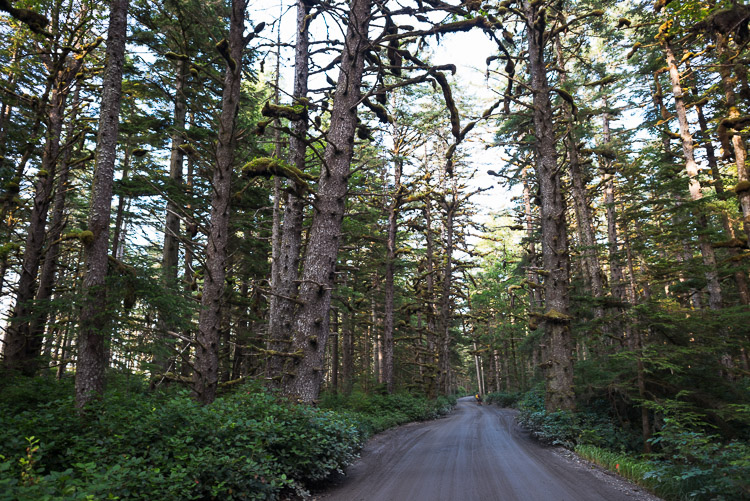 Cycling down Tow Hill Road under old growth trees