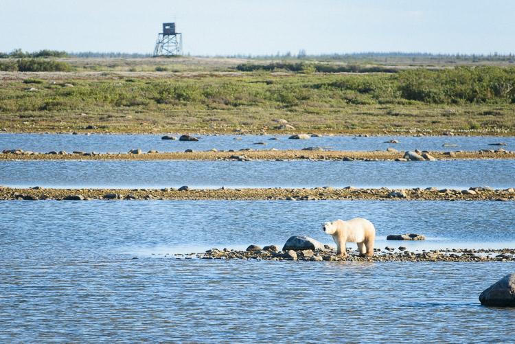 Polar bear at water's edge on the tundra
