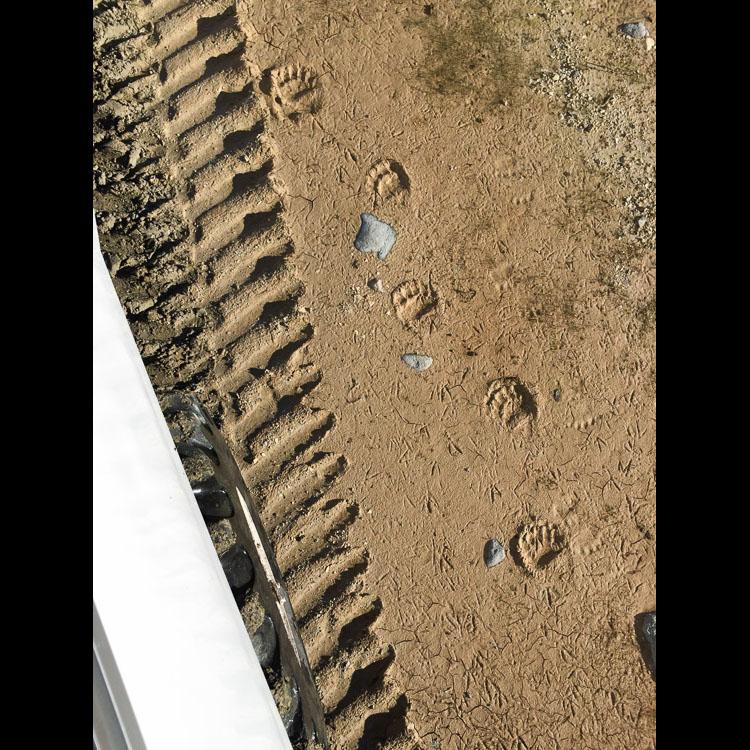 Fresh polar bear tracks next to tundra buggy near Churchill