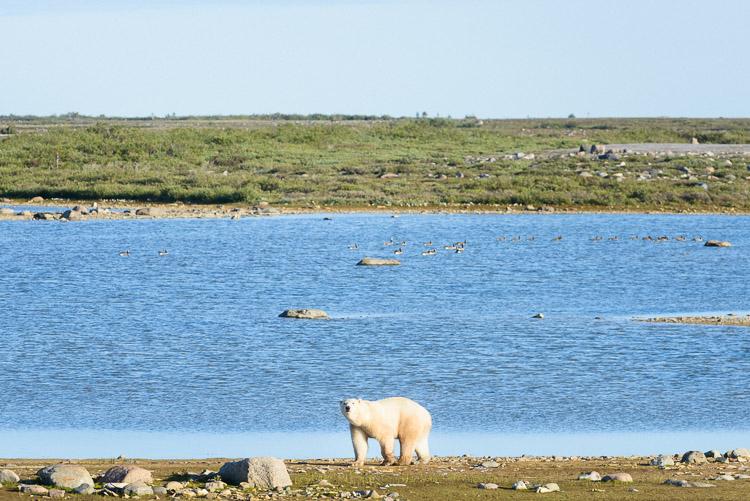 Polar bear portrait in summer