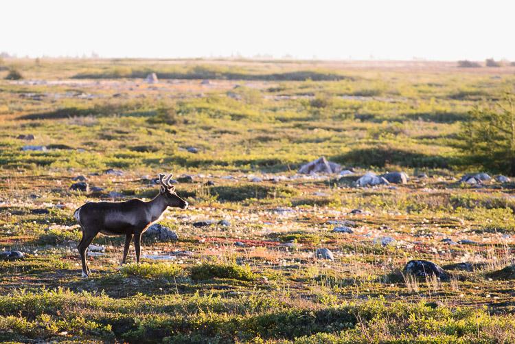 Backlit boreal caribou on tundra