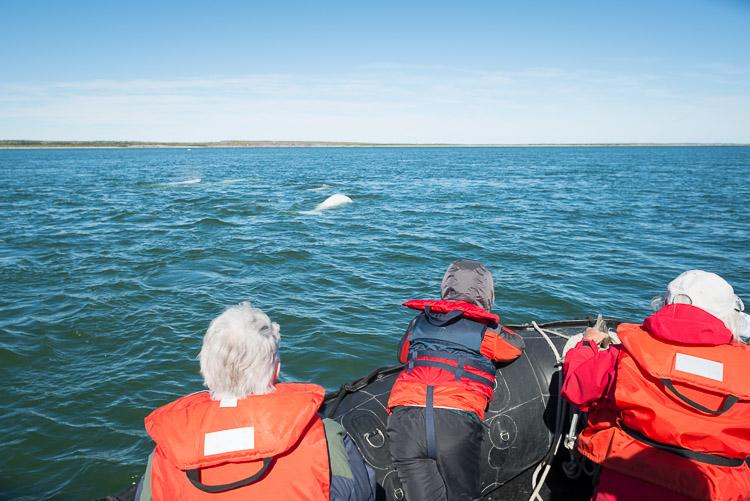 Beluga whales near people in Zodiac