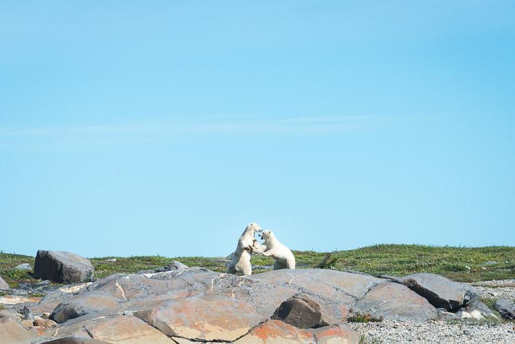 Polar bears play fighting