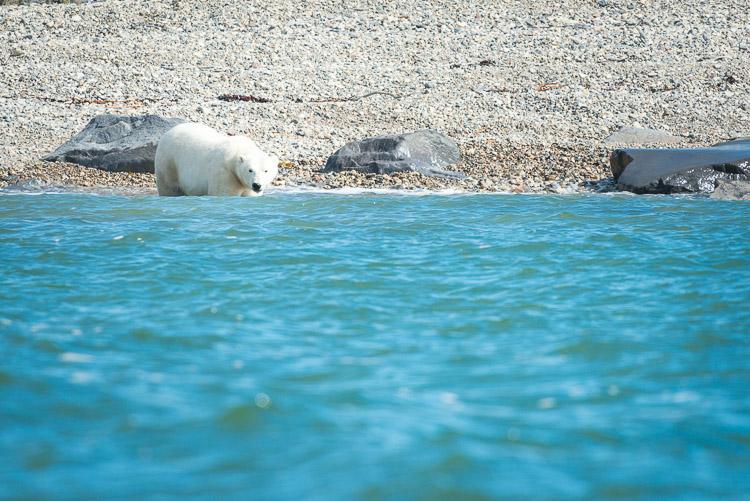 Polar bear wading into the Hudson Bay