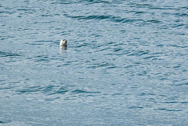 Seal in the Salish Sea