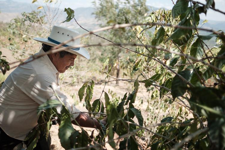 Picking coffee cherries of plants at coffee farm
