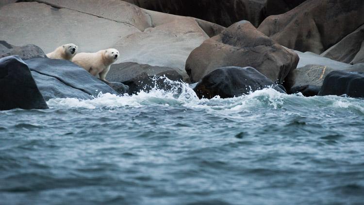 Curious polar bear cubs at the edge of water