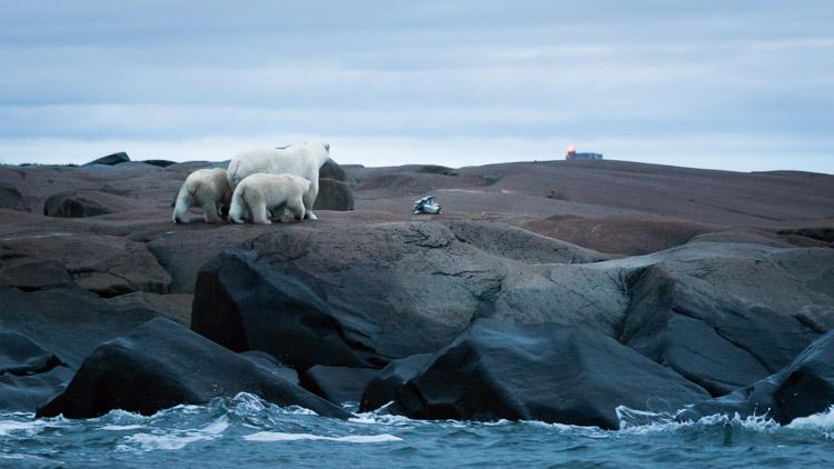 Polar bears looking towards town of Churchill
