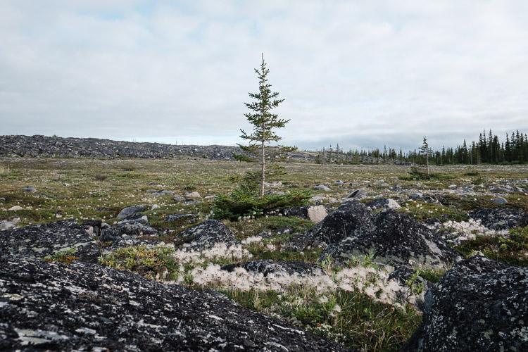 Lone tree on the tundra