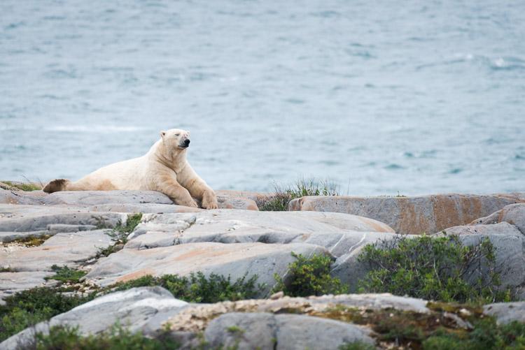 Large male polar bear in summer