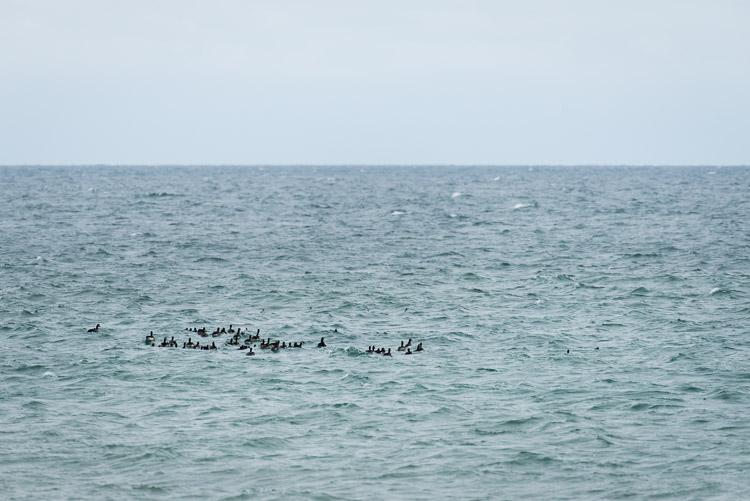 Canadian Geese in ocean