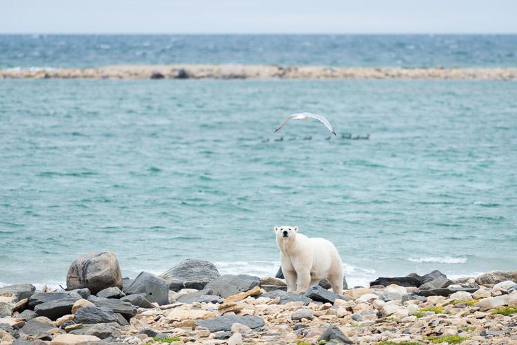 Polar bear locking eyes with photographer