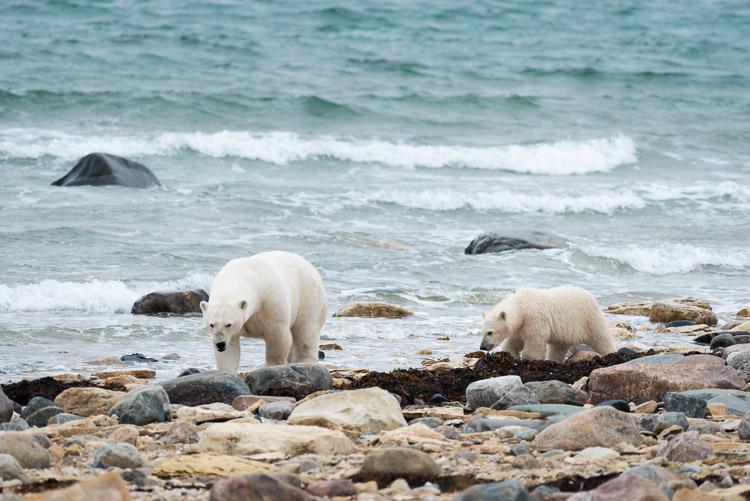 Mother polar bear and cub on Arctic Ocean coast