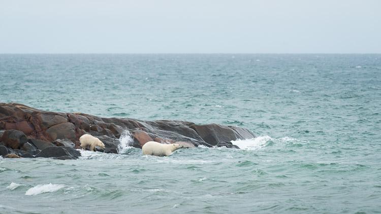 Polar bears jumping into ocean
