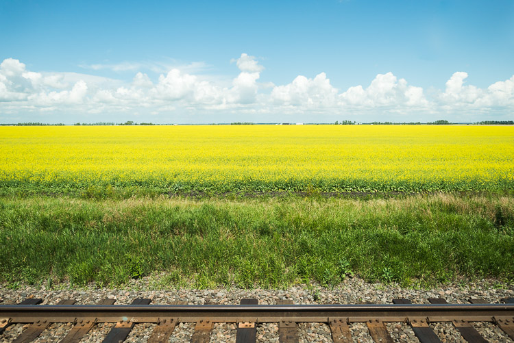 Prairie canola fields - the view from the train