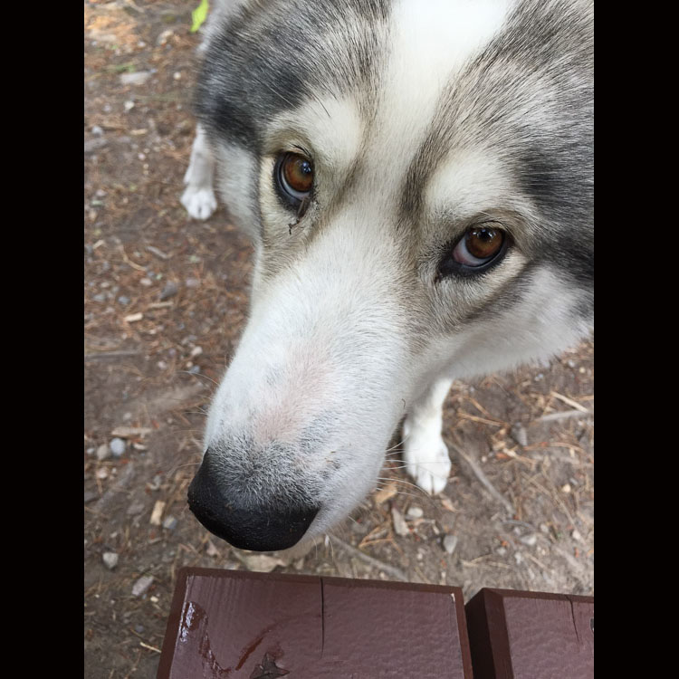 Husky dog with begging eyes