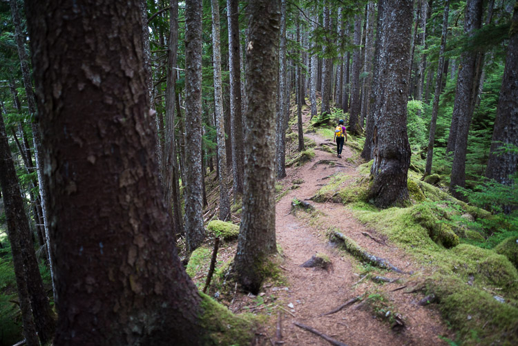 Hiking in the old growth of the Pesuta shipwreck trail