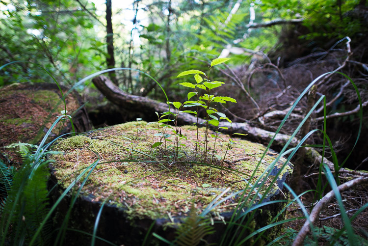 New growth out of felled stump