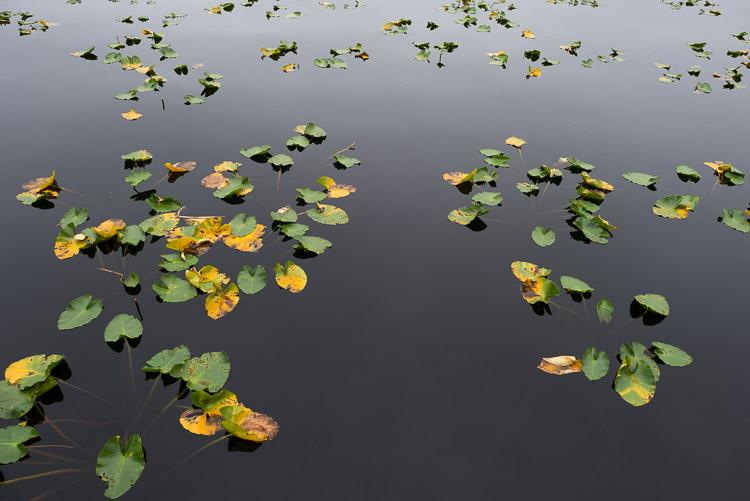 Lillypads at inland Mayer Lake - Haida Gwaii