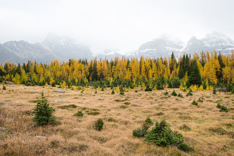 Yellow Larch Valley meadow amidst snowy mountains