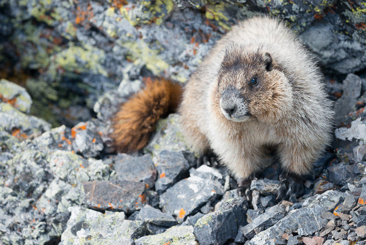 Hoary marmot portrait