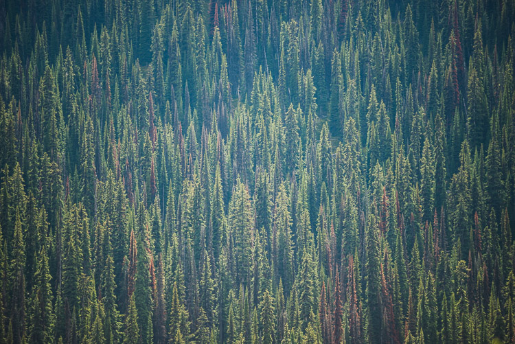 Dense Engelmann spruce trees cover steep valley walls