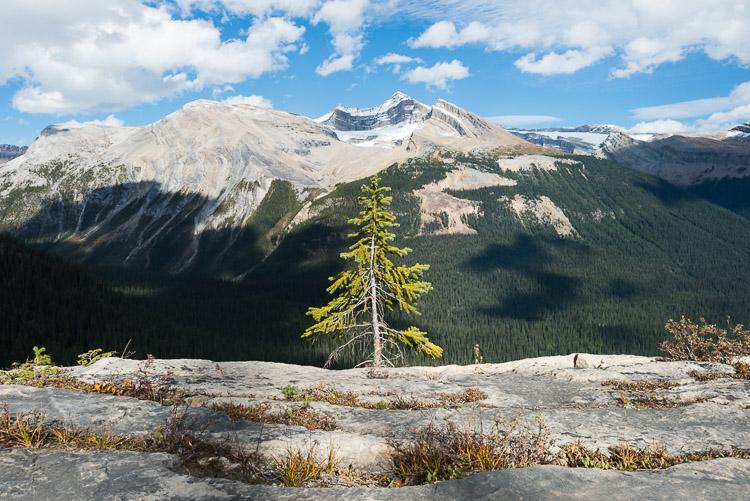 Small spruce tree in alpine