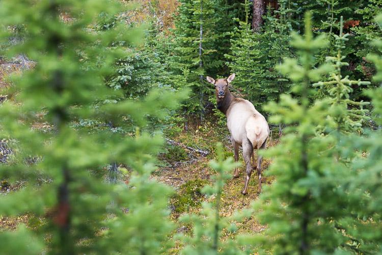 Surprised female elk in Yoho backcountry