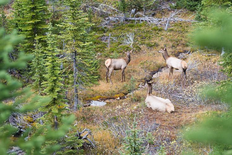 An elk family in a meadow