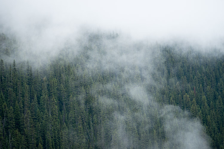 Mist amidst spruce trees