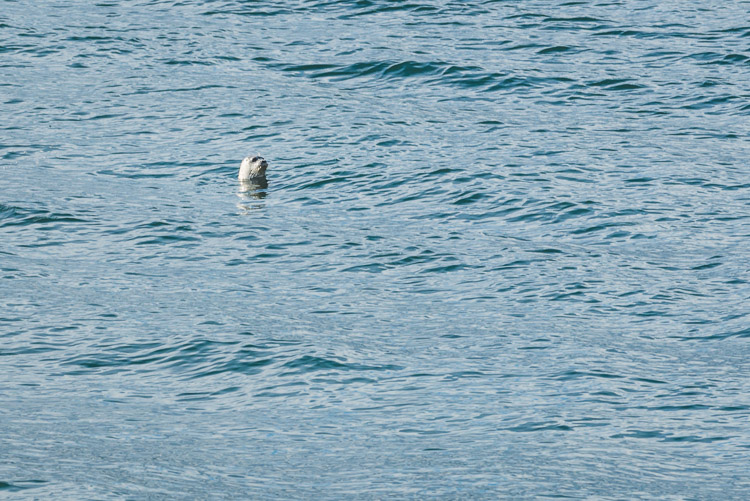 Seal in the Salish Sea