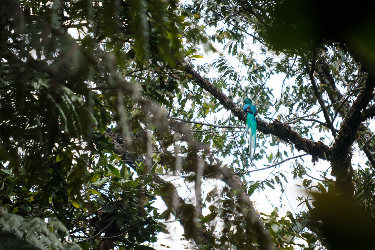 A resplendent quetzal in Guatemala's cloud forest canopy