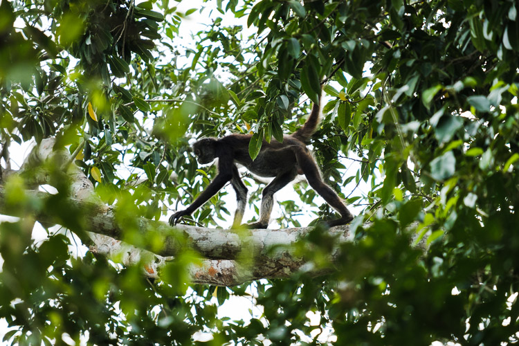 Spider monkey moving through the Guatemalan jungle