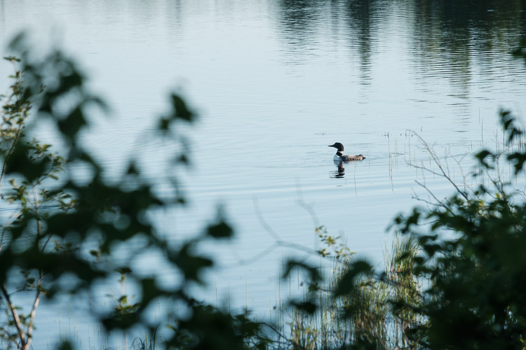 Loon on East Deep Lake in Riding Mountain National Park