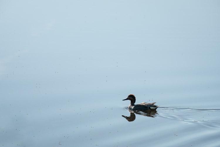 Minimalist duck on calm water