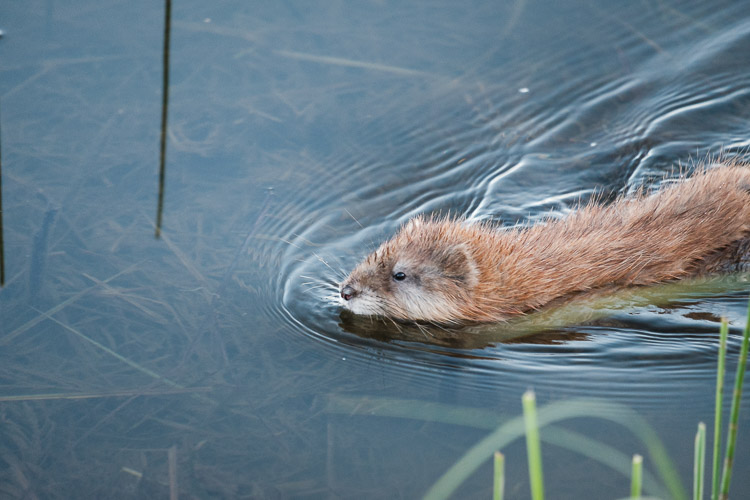 Muskrat swimming in East Deep Lake, Riding Mountain National Park