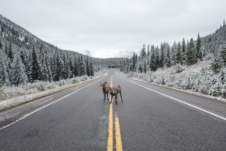Mountain sheep on Kananaskis Highway 40