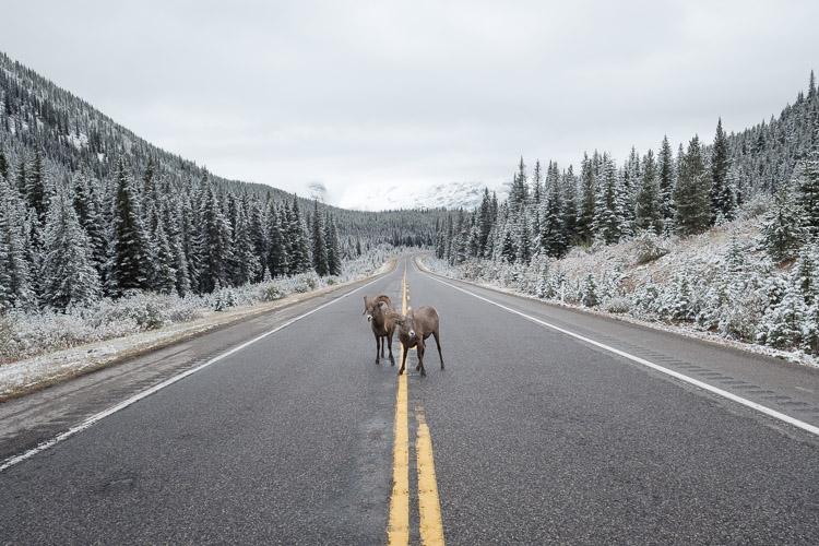 Mountain sheep on Kananaskis Highway 40